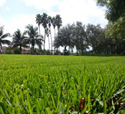 A grassy field with palm trees in the distance